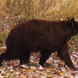 Bear_