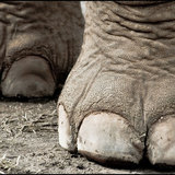 Elephant_feet_by_scarletarts