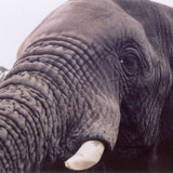 Elephant_eye-1