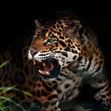 Jaguar_growl