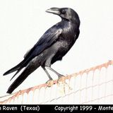 Raven_chihuahuan1