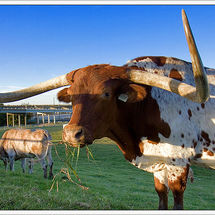 Beautiful_texas_longhorn