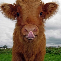 Cute_cow