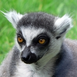 S_ring-tailed-lemur