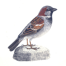 Housesparrow-cropped