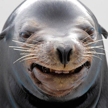 Smiling-sealion