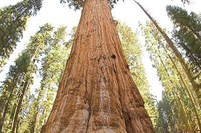 470px-general_sherman_tree_looking_up