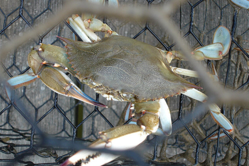 Crabs nurse their wounds and may feel pain